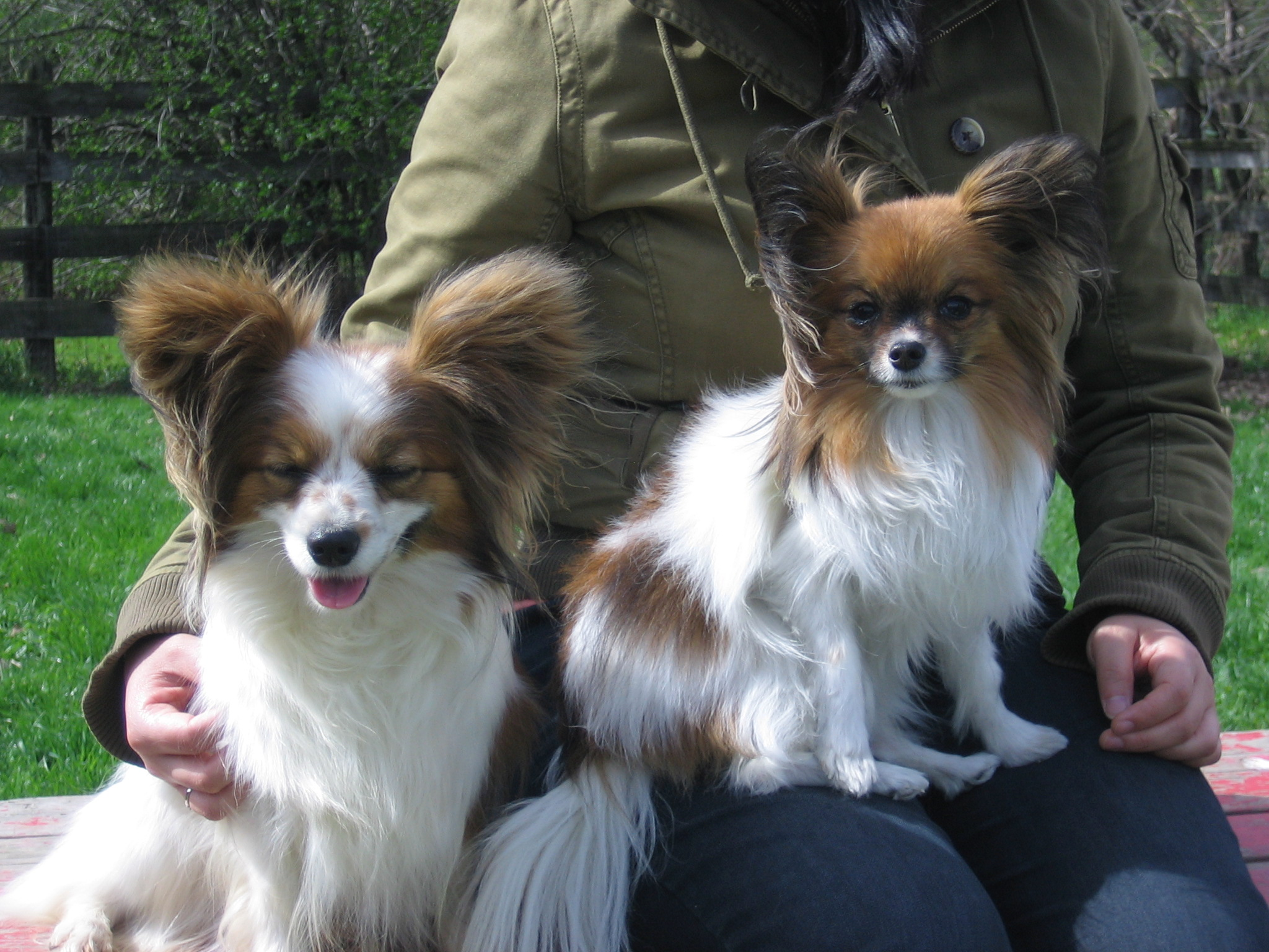 Displaying 15> Images For - Papillon Maltese Mix...